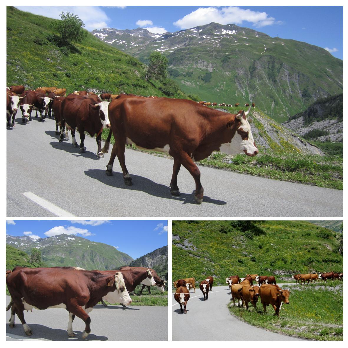 Kuer i veien i de franske alper
