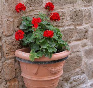 Blomster i Alghero