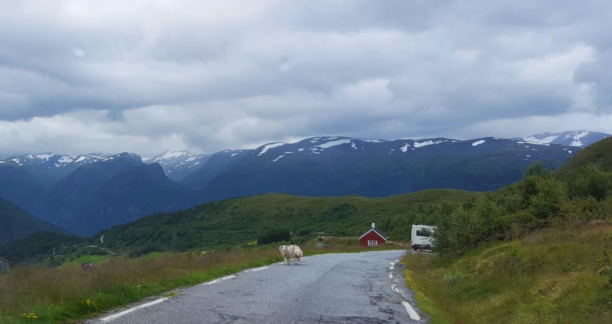 Bilferie Vestlandet Sønvegen med sauer