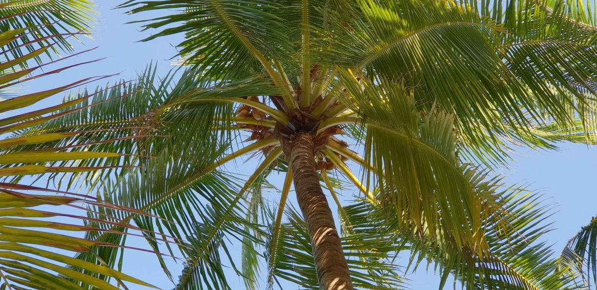 Kokospalmer på Maldivene