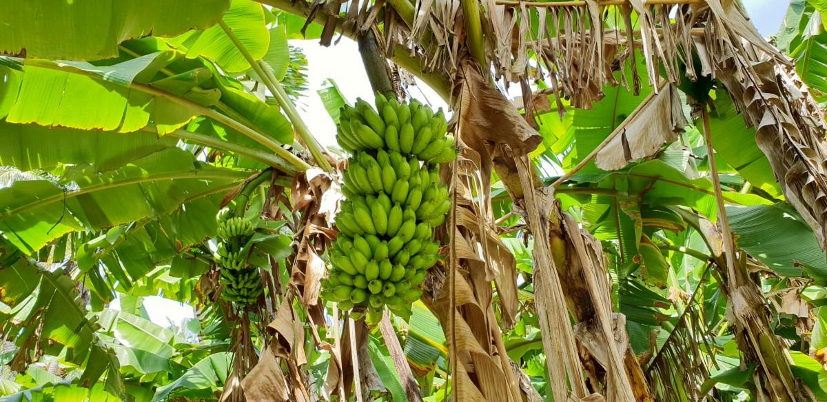 Bananpalmer på Sun Island Maldivene